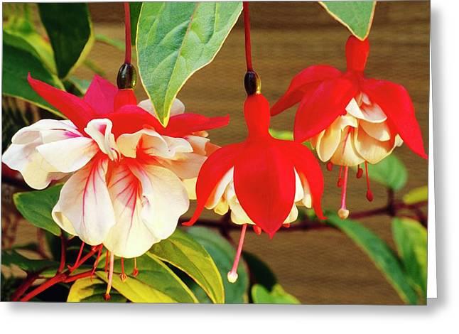 Fuchsia 'golden Swingtime' Greeting Card