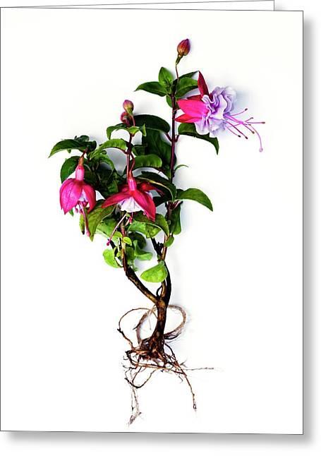 Fuchsia Plant Greeting Card by Ian Gowland