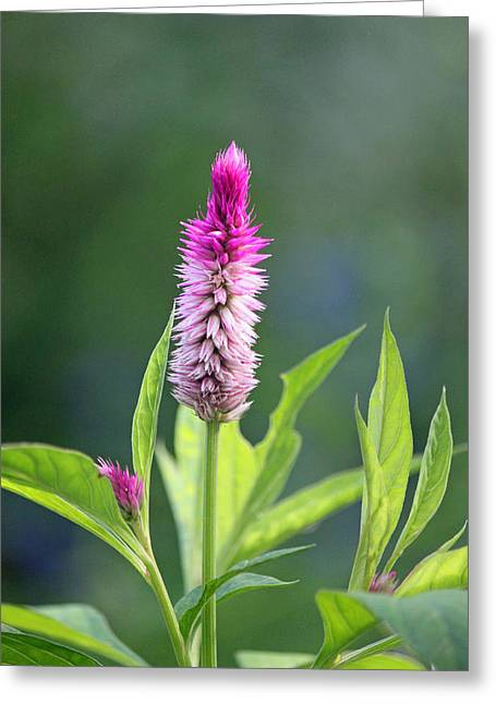 Fuchsia Spike Greeting Card by Suzanne Gaff