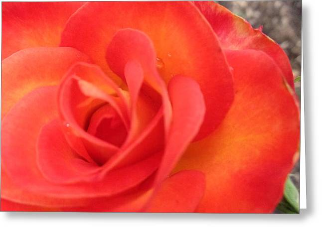 Full Bloom Greeting Card by Rose Clark