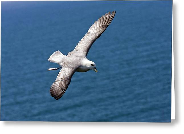 Fulmar In Flight Greeting Card by Bob Gibbons
