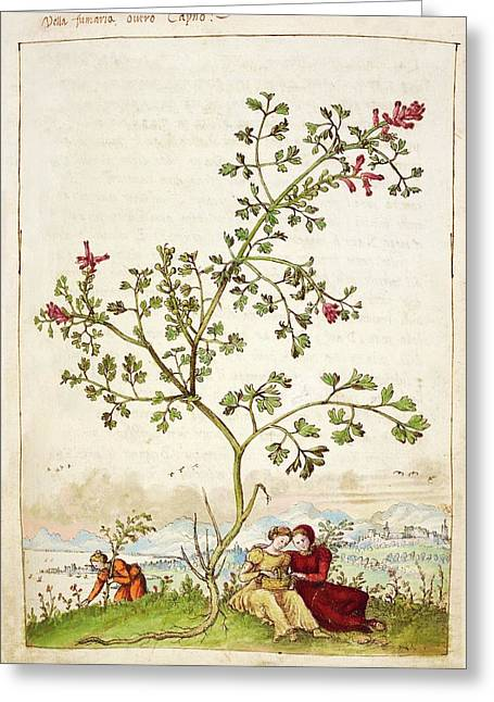 Fumewort (fumaria Sp.) Greeting Card by British Library