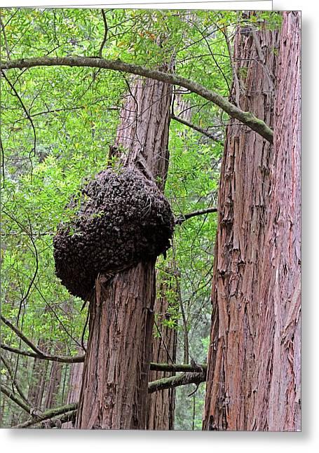Fungus On A Redwood Tree Greeting Card