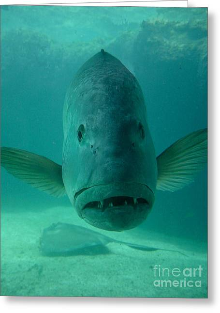 Funny Fish Face Greeting Card by Amy Cicconi