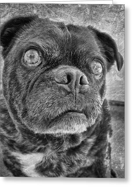 Funny Pug Greeting Card by Larry Marshall
