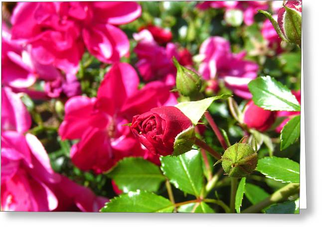 Fuschia Roses Greeting Card