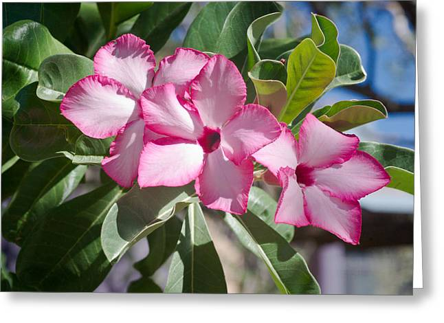 Fushia Oleander Near Phoenx Arizona 2 Greeting Card by Douglas Barnett
