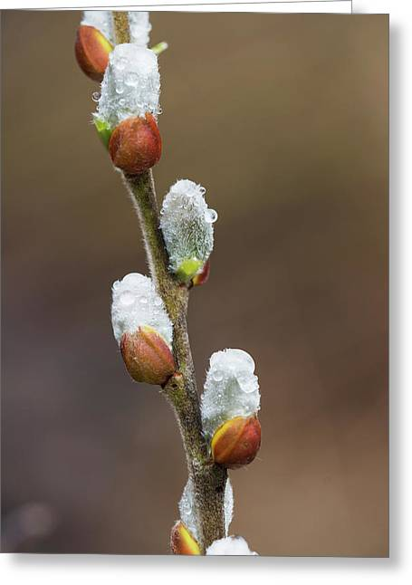 Fuzzy Willow Catkins Come Greeting Card by Robert L. Potts