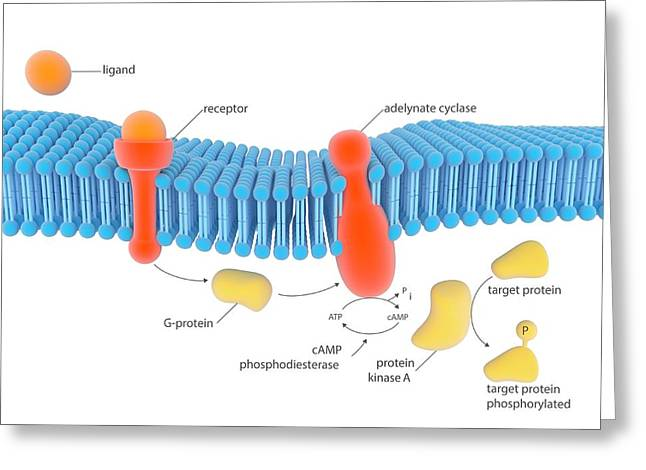 G-protein-linked Receptor Greeting Card by Science Photo Library