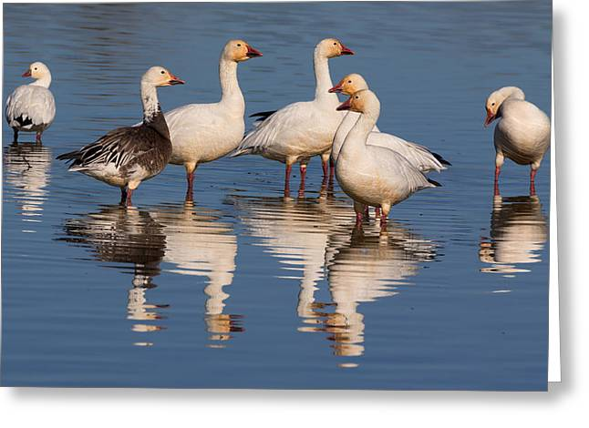 Gaggle Of Snow Geese Reflected Greeting Card