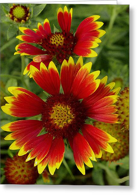 Greeting Card featuring the photograph Gaillardia / Flowers by James C Thomas