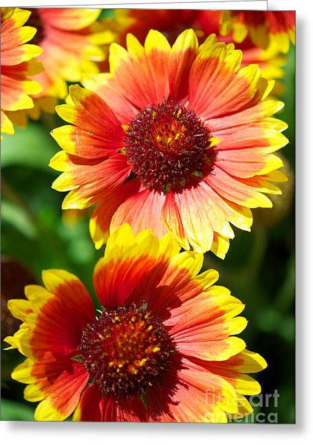 Greeting Card featuring the photograph Gaillardia2x by Vinnie Oakes