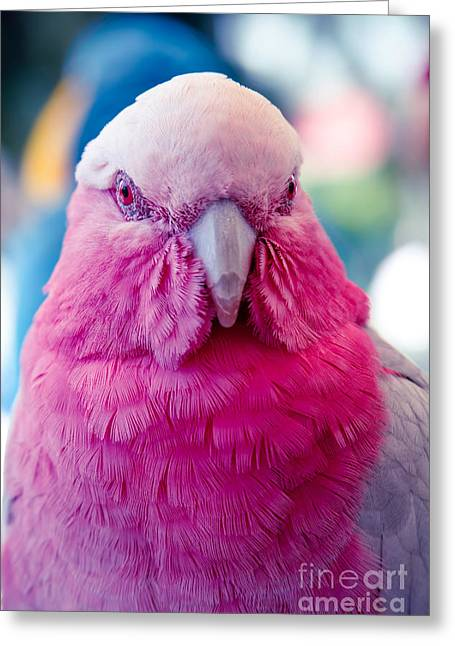 Galah - Eolophus Roseicapilla - Pink And Grey - Roseate Cockatoo Maui Hawaii Greeting Card