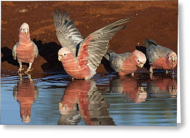 Galahs Drinking Western Australia Greeting Card by D. Parer & E. Parer-Cook