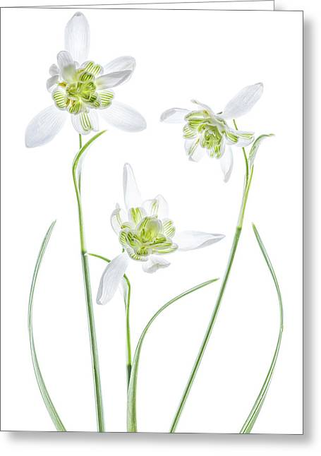 Galanthus Flore Pleno Greeting Card by Mandy Disher