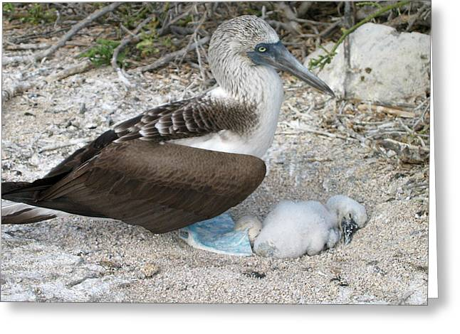 Galapagos Blue Footed Booby Egg And Chick Greeting Card