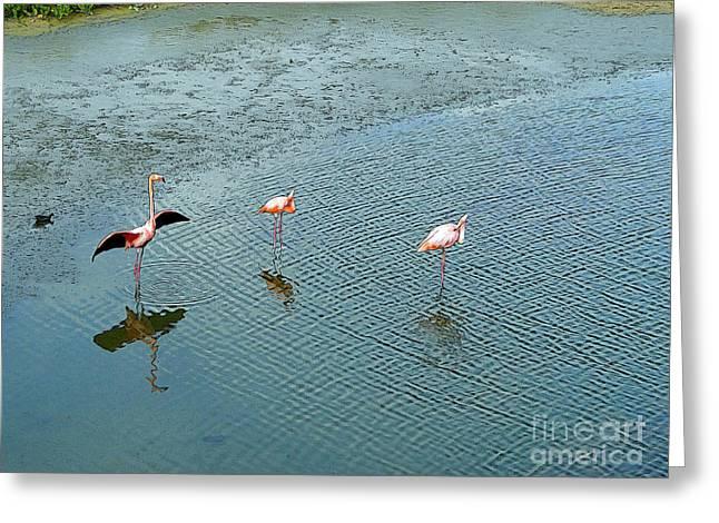 Galapagos Flamingoes Artwork Greeting Card