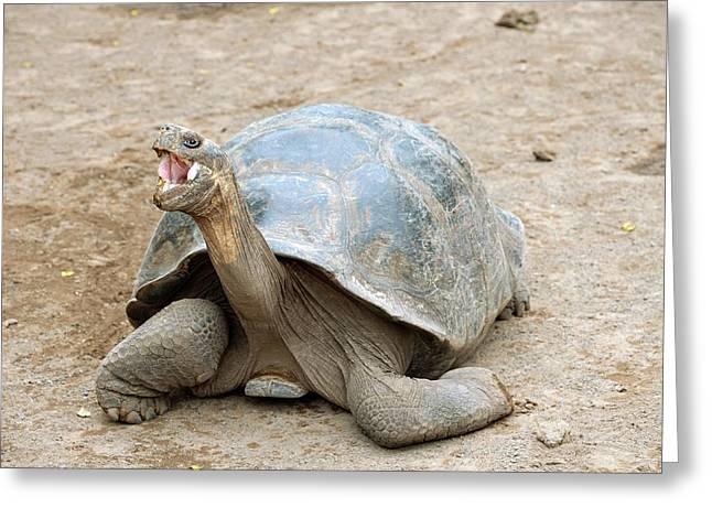Galapagos Giant Tortoise Greeting Card by Bildagentur-online/mcphoto-schulz