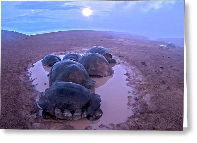 Galapagos Giant Tortoises On Volcano Rim Greeting Card by Paul D Stewart