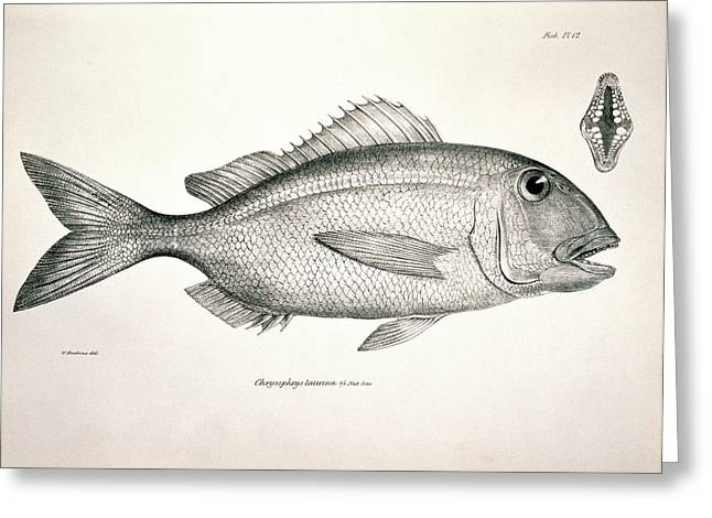 Galapagos Porgy Greeting Card by Natural History Museum, London