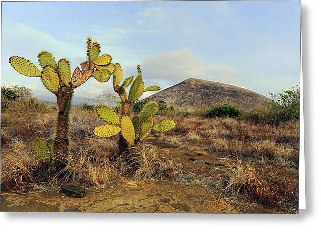 Galapagos Prickly Pear (opuntia Echios) Greeting Card by Science Photo Library
