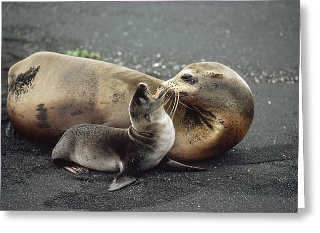 Galapagos Sea Lion Mother And Newborn Greeting Card by Tui De Roy