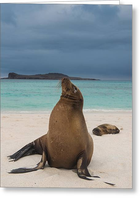 Galapagos Sea Lions Gardner Bay Greeting Card by Pete Oxford