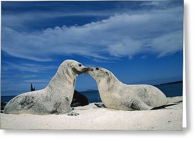 Galapagos Sea Lion Pups Covered In Sand Greeting Card by Tui De Roy