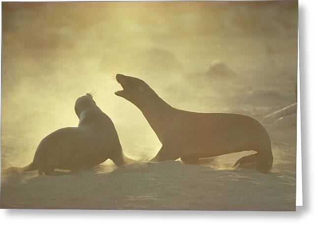 Galapagos Sea Lion Pups Romping On Beach Greeting Card by Tui De Roy