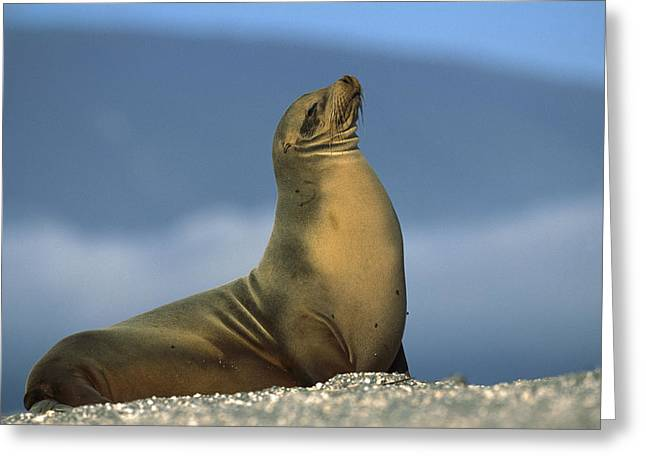 Galapagos Sea Lion Sunning Galapagos Greeting Card by Tui De Roy