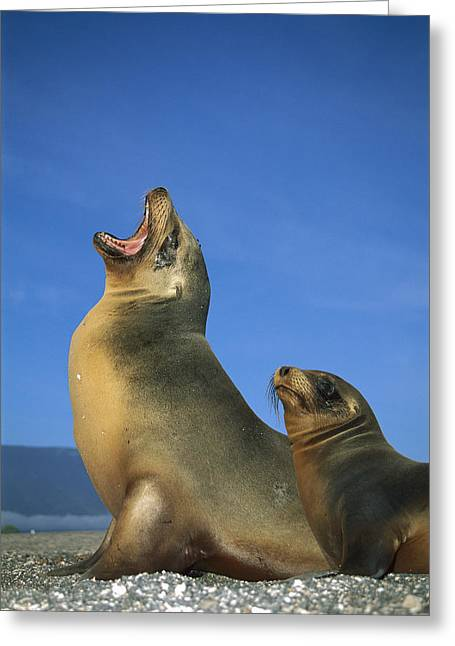 Galapagos Sea Lion With Yearling Greeting Card by Tui De Roy