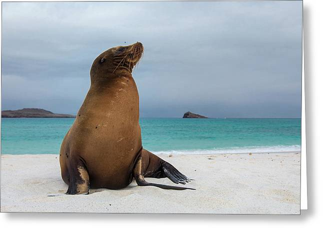 Galapagos Sea Lions (zalophus Wollebaeki Greeting Card