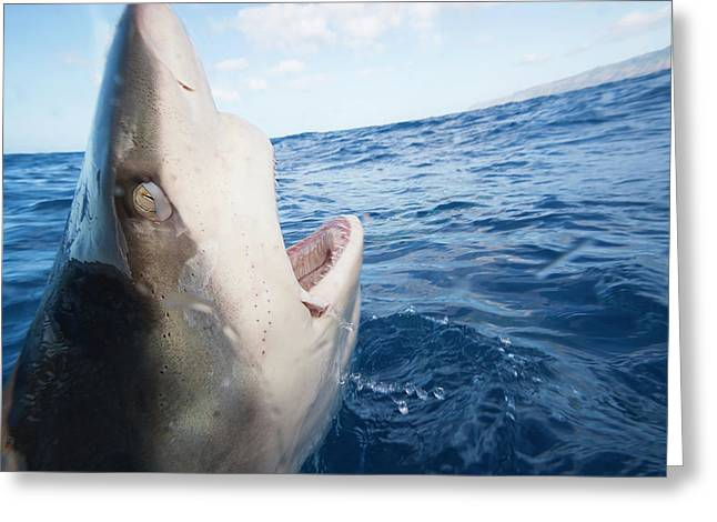 Galapagos Shark  Carcharhinus Greeting Card by Dave Fleetham