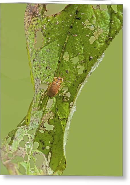 Galerucella Beetle Greeting Card