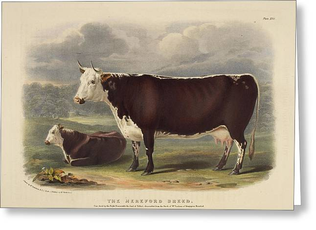 Galloway Breed Greeting Card