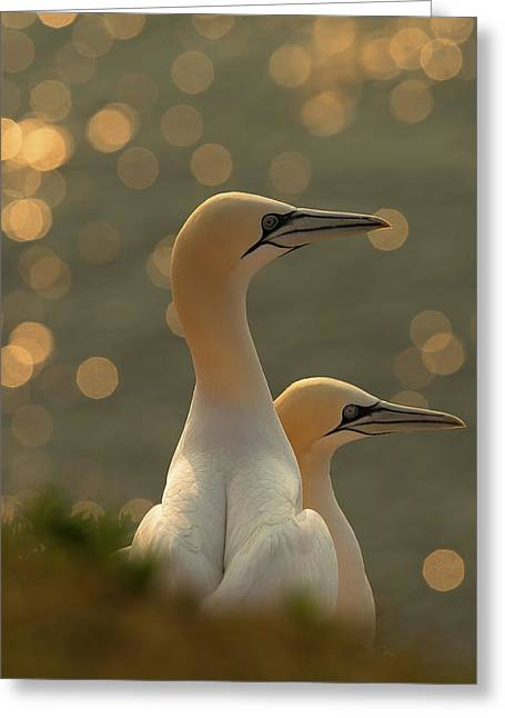Gannets In Sunset Greeting Card