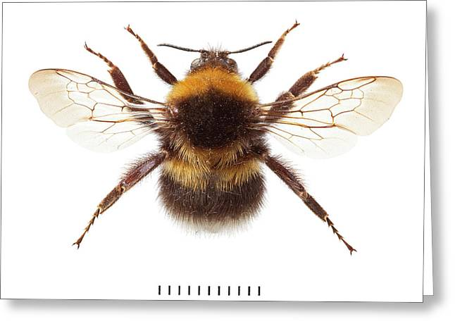 Garden Bumblebee Greeting Card by Natural History Museum, London
