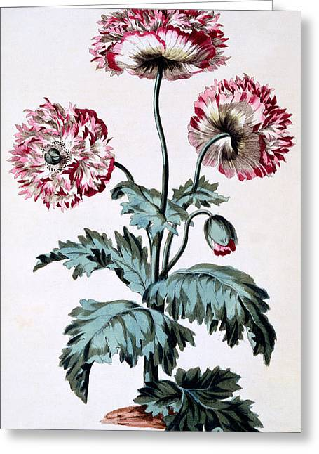 Garden Poppy With Black Seeds Greeting Card by John Edwards