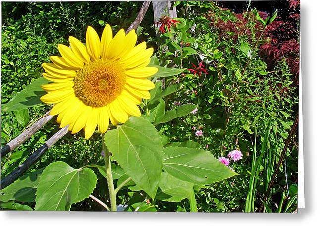 Garden Sunflower Greeting Card by Aimee L Maher Photography and Art Visit ALMGallerydotcom