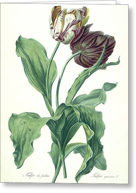 Garden Tulip Greeting Card by Gerard van Spaendonck