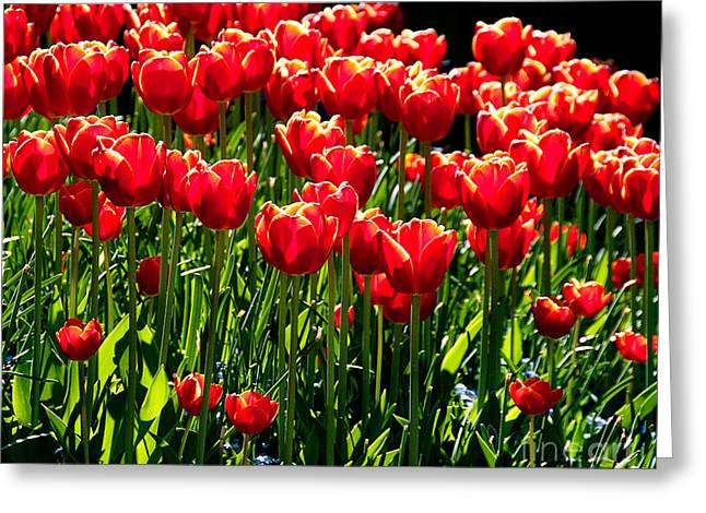 Gardenful Of Red Tulips Greeting Card by Melody Watson