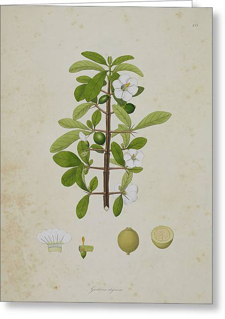 Gardenia Aligonosa Greeting Card by British Library