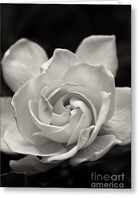 Gardenia Bloom In Sepia Greeting Card