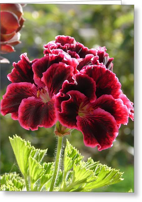 Greeting Card featuring the photograph Garnet Geranium by Lew Davis