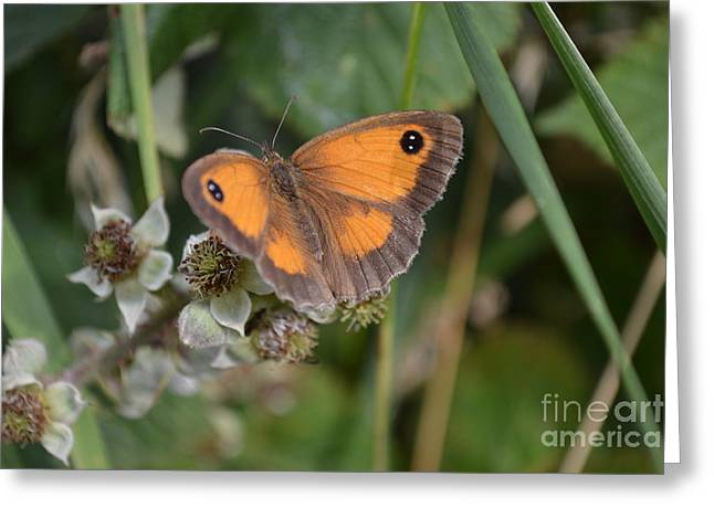 Gatekeeper Butteryfly Greeting Card