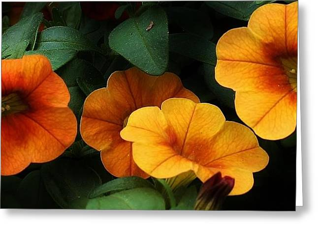 Gathering Of Petunias Greeting Card by Bruce Bley
