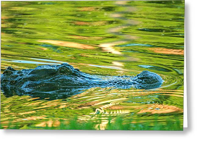 Gator In Pond Greeting Card by Patricia Schaefer