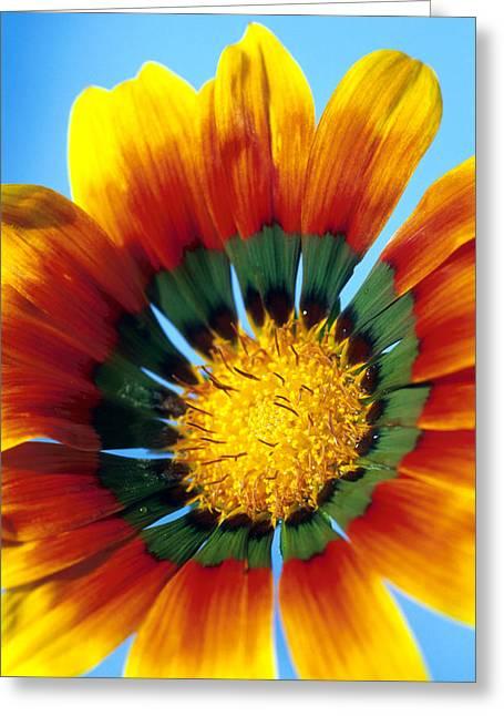 Gazania Flower Greeting Card by Carl Perkins