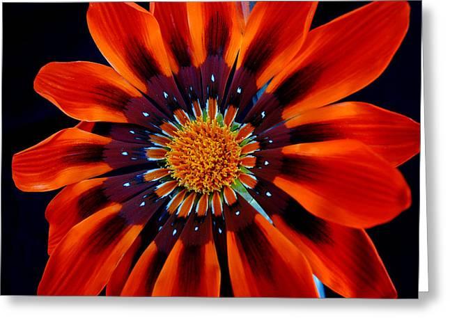 Gazania Flower Greeting Card by Larry Harper