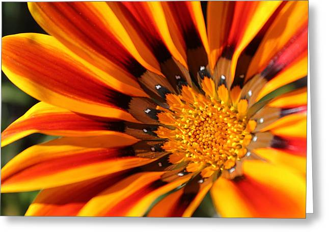 Greeting Card featuring the photograph Gazania Glory by Richard Stephen